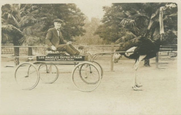 Ostrich pulling a cart at the Los Angeles Ostrich Farm. Via William H. Hannon Library, Loyola Marymount University.