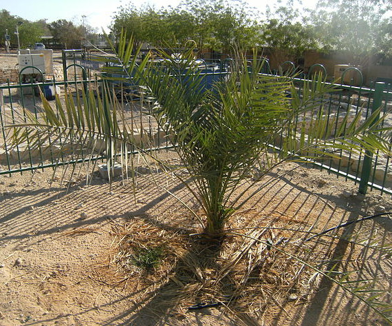 The only living Judean date palm, at Kibbutz Ketura, Israel. Photograph by Benjitheijneb