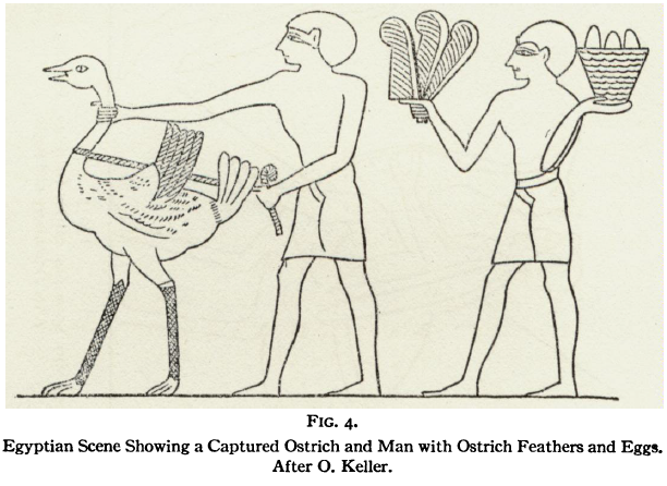 Laufer 1926 Fig4 Captured Ostrich