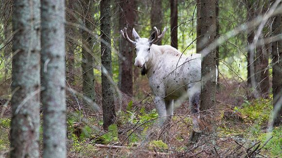 Yle Antti Terava valkoinen hirvi