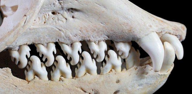 Twitter Cassandra Khaw Crabeater Seal Teeth
