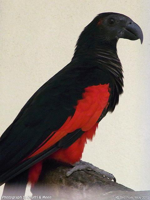 Flickr Meen Zhafri Pesquets Parrot Silhouette