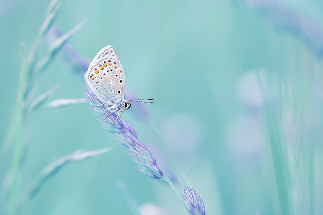 Flickr David Chambon Butterfly