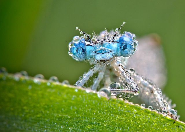 Flickr David Chambon Dragonfly Turquoise