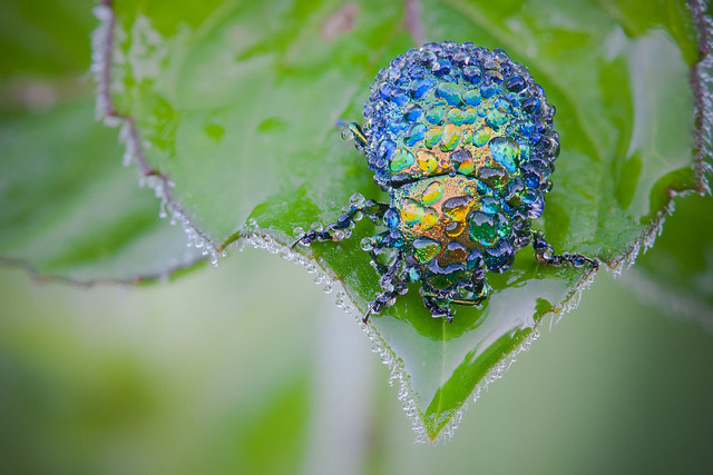 Flickr David Chambon Leaf Beetle